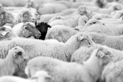 one black sheep in the herd of whites